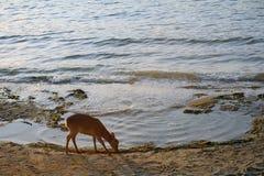 Shika deer, Miyajima, Japan Stock Photo