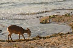 Shika deer, Miyajima, Japan Royalty Free Stock Image