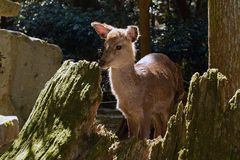 Shika deer, Nara Japan Stock Photography