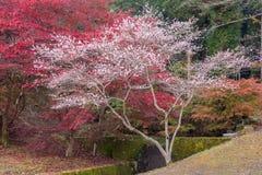 Shikizakura blossom in Autumn Stock Images