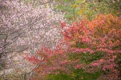 Shikizakura blossom in Autumn Royalty Free Stock Image