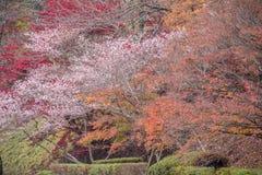 Shikizakura blossom in Autumn Stock Photo