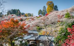 Free Shikizakura Blossoms Mixed With The Beautiful Autumn Colour Leave At Obara Village. Royalty Free Stock Images - 105029549