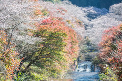 Shikizakura kind of sakura blooms once in spring, and again in a Royalty Free Stock Photos