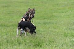 Shikoku dog Royalty Free Stock Image
