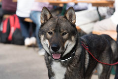 Shikoku dog Royalty Free Stock Photos
