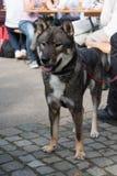Shikoku-Hund Lizenzfreie Stockfotografie