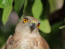 Shikra Photo stock