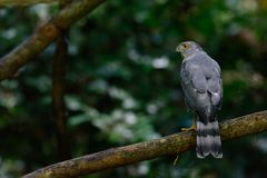 Shikra, Accipiter badius Stockfotografie
