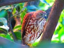Shikra or Accipiter badius or baaz or hawk Or banded goshawk stock images