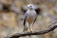 Shikra-Accipiter badius männliche schöne Vögel von Thailand Lizenzfreies Stockfoto