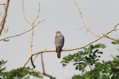 Shikra in Ghana. Shikra Accipiter badius sphenurus in Ghana Royalty Free Stock Images