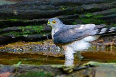 Accipiter badius or Shikra. Royalty Free Stock Photography