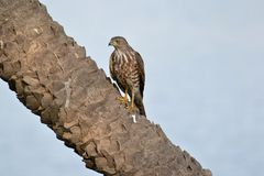 Shikra Raptor on a Tree Royalty Free Stock Photo