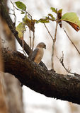 Shikra in Pench Tiger Reserve Royalty Free Stock Photo
