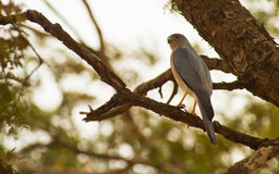 The Shikra Sparrowhawk Stock Photos