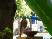Shikra-Vogel, der auf einem tönernen Anfeuchter sitzt Stockfoto