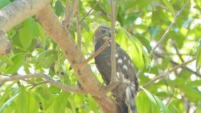 Shikravogel in tropisch regenwoud stock footage