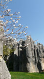 Shilin stone forest white blossom tree. The shilin stone forest near kunming stock photography