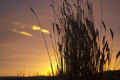 Shiloette del grano Immagine Stock Libera da Diritti