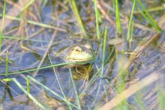 Shiloh Ranch Regional California bullfrog. The park includes oak woodlands, forests of mixed evergreens,. Shiloh Ranch Regional California bullfrog. The park stock photos