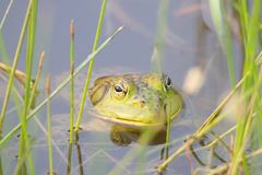 Shiloh Ranch Regional California bullfrog. The park includes oak woodlands, forests of mixed evergreens,. Shiloh Ranch Regional California bullfrog. The park stock images
