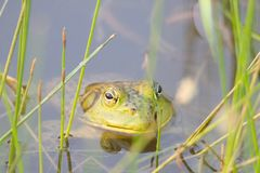 Shiloh Ranch Regional California bullfrog. The park includes oak woodlands, forests of mixed evergreens,. stock image