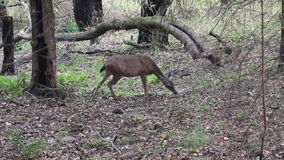 Shiloh Ranch Regional California deer. The park includes oak woodlands, forests of mixed evergreens stock video footage