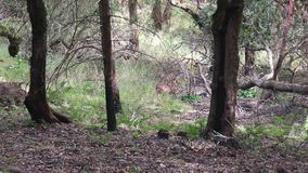 Shiloh Ranch Regional California deer. The park includes oak woodlands, forests of mixed evergreens stock footage