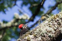 Shiloh Ranch Regional California Woodpecker Stock Fotografie