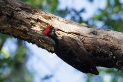 Shiloh Ranch Regional California Woodpecker. The park includes oak woodlands, forests of mixed evergreens, ridges with sweeping views of the Santa Rosa Plain Stock Image