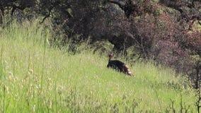 Shiloh Ranch Regional Park, Califórnia - o peru selvagem video estoque
