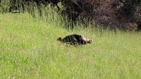 Shiloh Ranch Regional Park, Califórnia - o peru selvagem vídeos de arquivo