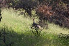 Shiloh Ranch Regional Park, la Californie - la dinde sauvage Photo stock