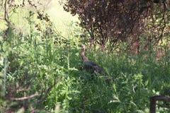 Shiloh Ranch Regional Park, la Californie - la dinde sauvage Photos libres de droits