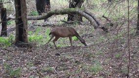 Shiloh rancho Kalifornia Dzielnicowy rogacz Park zawiera dębowych lasy, lasy mieszani evergreens zdjęcie wideo