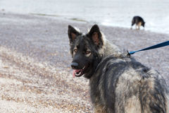 Shiloh Shepherd stock images