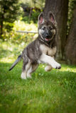 Shiloh Shepherd German Shepherd Running in Yard Royalty Free Stock Photo