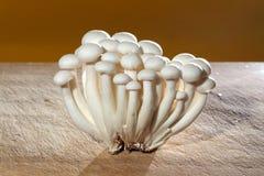 Shimeji, champignon japonese Photographie stock