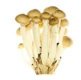 Shimeji mushroom Royalty Free Stock Images