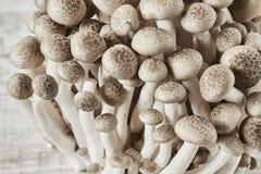 Shimeji mushroom, brown beech mushroom Stock Image
