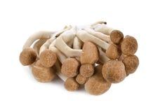 Shimeji mushroom, brown beech mushroom on white Stock Image