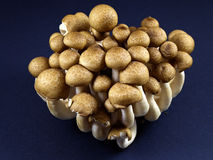 Shimeji mushroom. A bunch of raw brown shimeji mushroom Stock Image