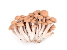Shimeji mushroom isolated Royalty Free Stock Images
