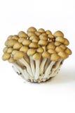 Shimeji Mushroom Stock Photo