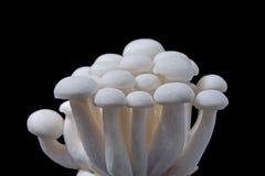Shimeji mushroom Stock Images