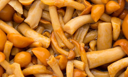Shimeji mushrooms brown fumgi varieties Background. Royalty Free Stock Photography