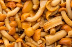 Shimeji mushrooms brown fumgi varieties Background. Stock Photos