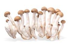 Shimeji mushrooms brown varieties isolated over white background. Shimeji mushrooms brown varieties isolated on white background asian beech bunch cap close-up royalty free stock images