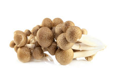 Shimeji mushrooms brown varieties. Isolated on white background Royalty Free Stock Photography